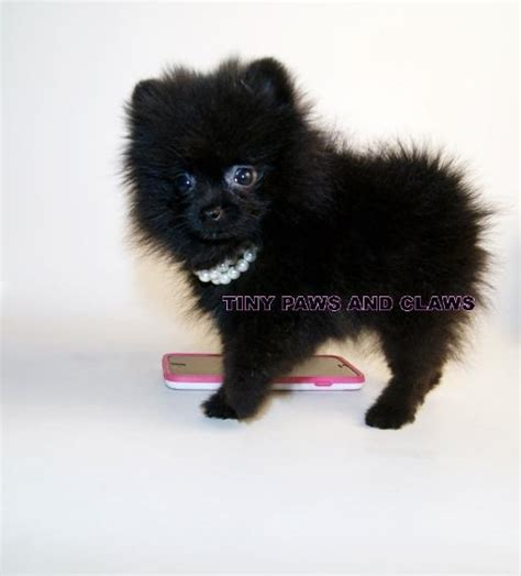 teacup pomeranians for sale in virginia black teacup teddy pom breeds picture