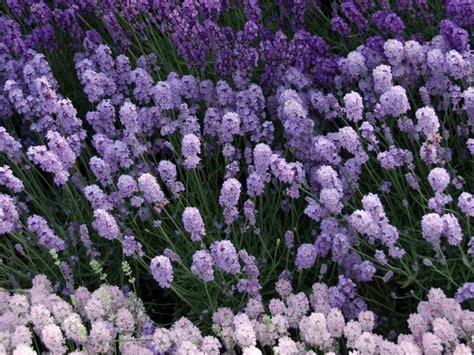 pianta da vaso sempreverde pianta sempreverde piante da giardino caratteristiche