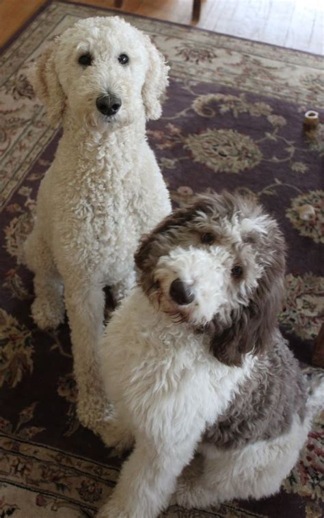 lifespan of standard poodle 17 best ideas about poodle haircut on poodle