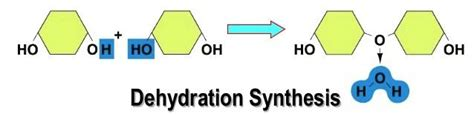 dehydration synthesis definition dehydration synthesis gallery
