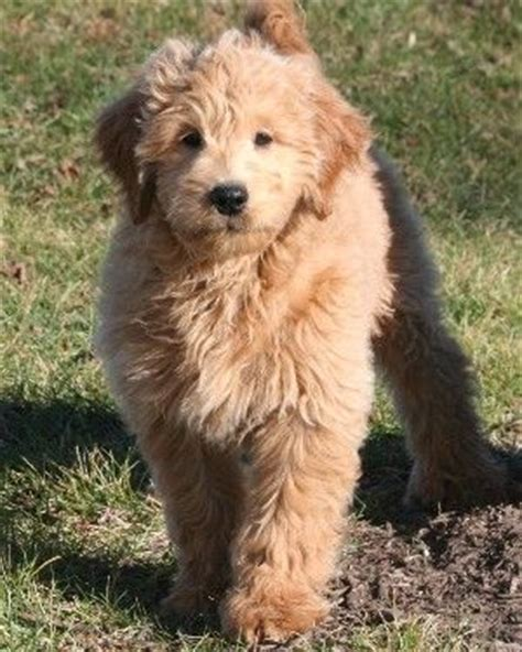 mini goldendoodles bc 739 best images about oodles of goldendoodles on