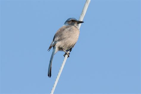 western scrub jay in flight pictures to pin on pinterest