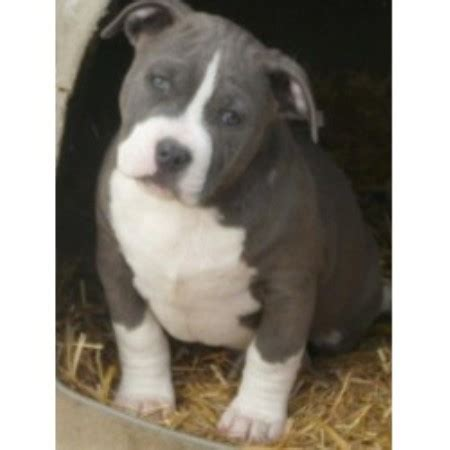 pitbull puppies illinois american pit bull terrier apbt breeders in illinois breeds picture