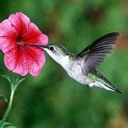 best flowers for hummingbirds garden pinterest