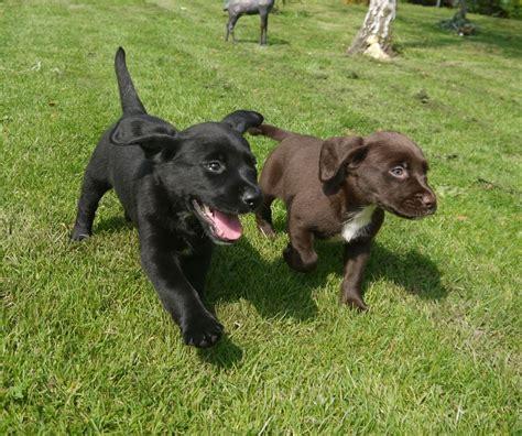 springador puppies springador puppies boston lincolnshire pets4homes