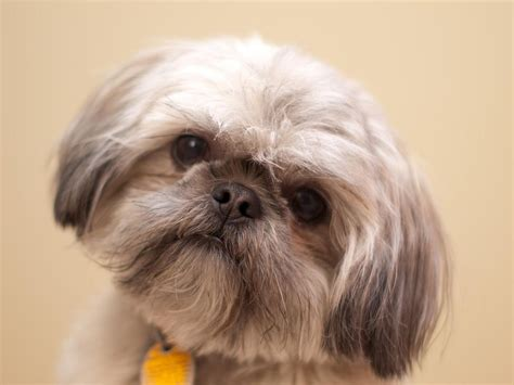best pet clippers for shih tzu top breeds 2017