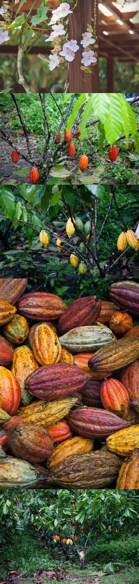 best cacao r 233 publique dominicaine the best cacao brought home 3