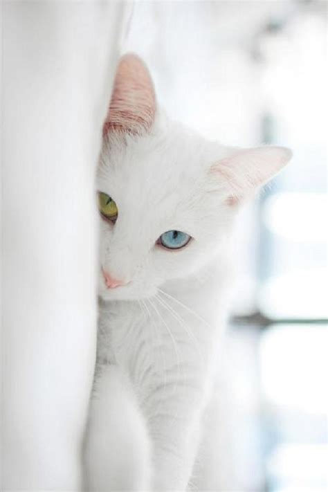 white cat with odd eyes odd eyed white cat pixdaus