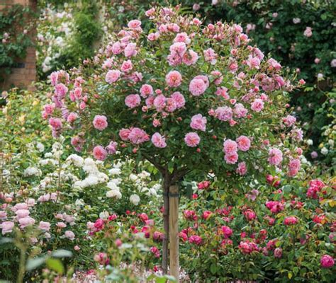 underplanting roses with companion plants link has long
