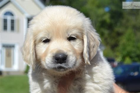 golden retriever puppies ma golden retriever puppy for sale near worcester central ma massachusetts