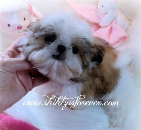 shih tzu puppies mn imperial shih tzu puppies for sale imperial shih tzu 700x649 jpeg