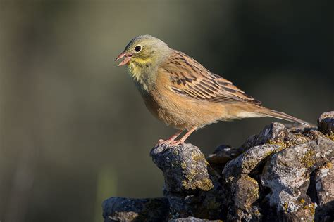 what is a bird ortolan bunting