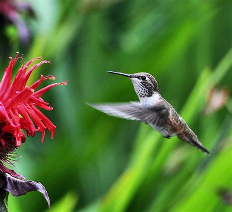 bee hummingbird facts the smallest bird in the world