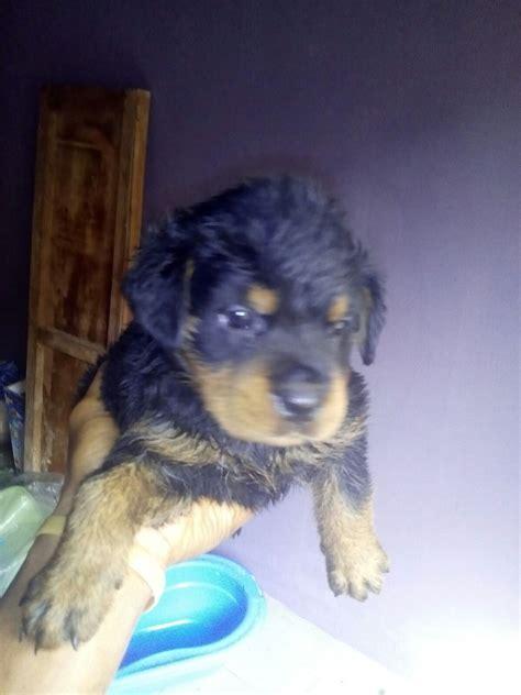blockhead rottweiler boxhead rottweiler pupss for sale pets nigeria