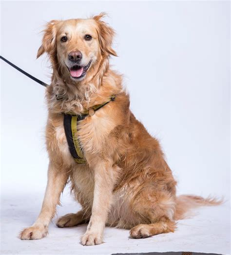 dogs picture sponsor a honey golden retriever dogs trust