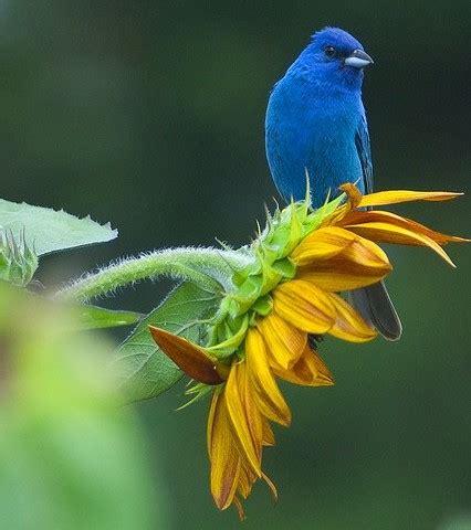 indigo bunting bird nut blog
