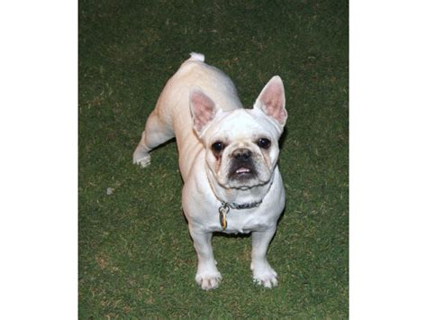 bulldog puppies for sale in az puppies for sale bulldog bulldogs frenchies f category in
