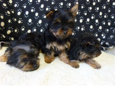 yorkie puppies for sale pa terrier nate puppies for sale in pa keystone puppies pets world