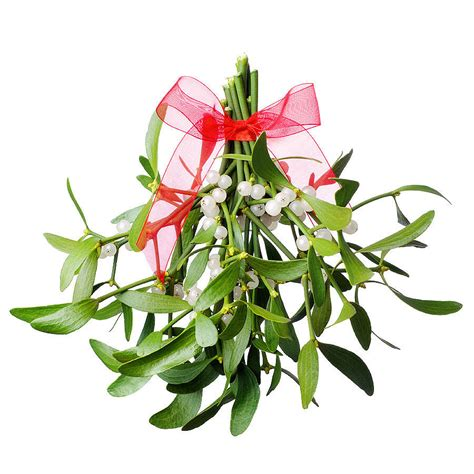 images of christmas mistletoe have a healthy holiday season 171 river cove animal hospital