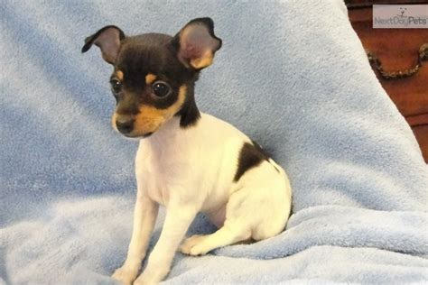pomeranian puppies for sale in flint michigan puppies for sale buy puppies sell puppies breeds picture