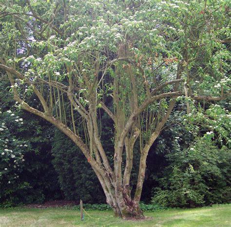 renovation pruning of flowering shrubs chris edwards landscaping garden maintenance specialist