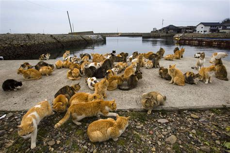 cat island japan felines rule on ehime s cat island the japan times