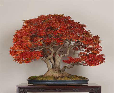 bonsai with japanese maples shishigashira japanese maple in november photo by the omiya bonsai art museum lupim