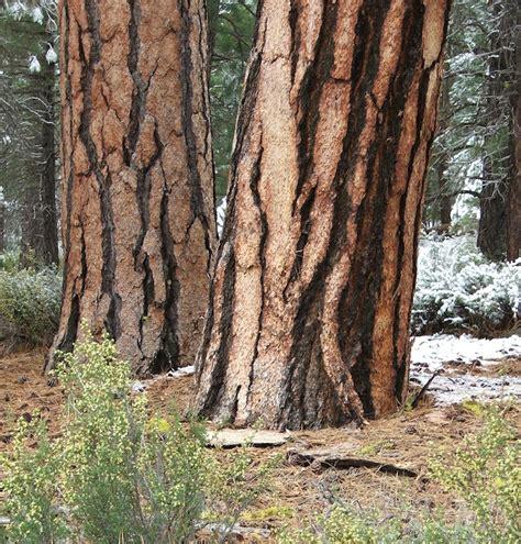 omeka ctl uvm tree profiles ponderosa pine
