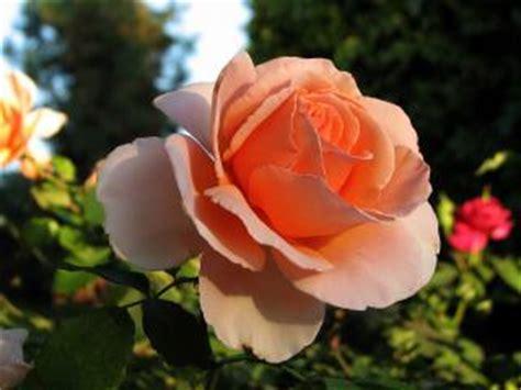 rose    rose flowers photo
