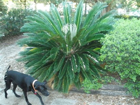 sago palm dogs plantfiles pictures cycad japanese sago palm king sago palm sago cycas sago palm
