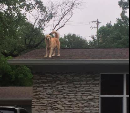 dog on a roof this golden retriever is causing quite a stir with his