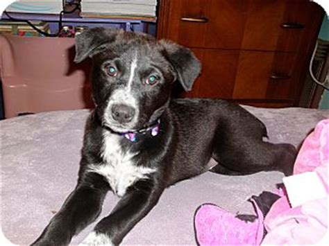 australian cattle lab mix lab mix puppies dont shed breeds picture