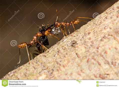 carrying food ants carrying food