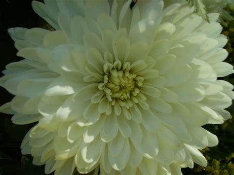 mums flower flower photography mums