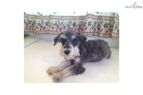 miniature schnauzer puppies for sale in indiana meet a schnauzer miniature puppy for sale for 200 boy b indiana