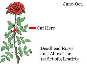 rose care guide galbraith s