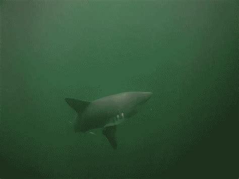 Gif Animals Science Sharks Biology Marine Biology Behavior - salmon shark on tumblr