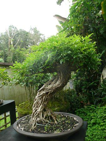 bonsai masterclass all you need to know about creating bonsai from one of the worlds top experts libro para leer ahora fuku bonsai cultural center kurtistown 2019 all you need to know before you go with photos