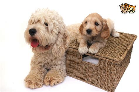 yankee doodle puppies for sale american proven cockapoo yankee doodle dandy bedford