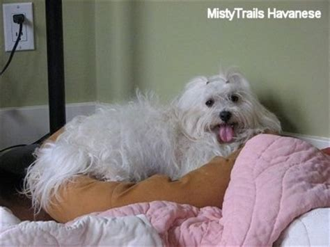 mistytrails havanese whelping whelping and raising puppies whelping trouble