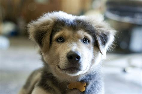 husky and golden retriever mix puppies 18 breathtaking husky golden retriever mixes