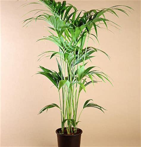 plantas altas de interior plantas de interior tipos cuidados y fotos sobre