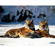 Tag Tiger Desktop Wallpapers Backgrounds Photos Picturesand