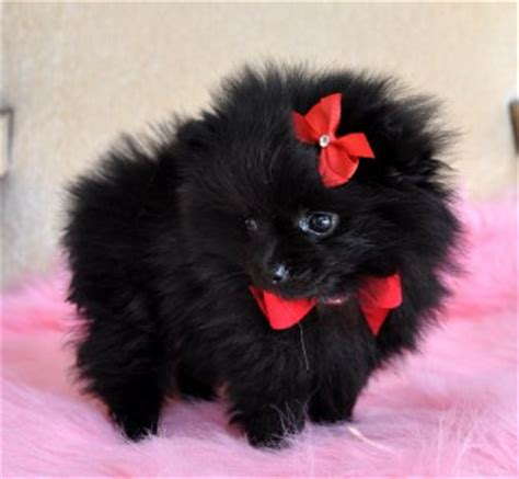 black pomeranian puppies for sale in florida tiny pomeranian puppy tiny black princess 1 5 lb at 8 weeks gorgeous sold puppies