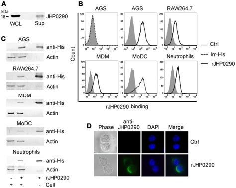 protein h pylori expression of jhp0290 in h pylori strain j99 and binding
