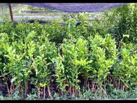 Harga Bibit Jeruk Purut jual bibit jeruk di banjarmasin hub 08121605732 kalimantan