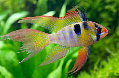 ram fish microgeophagus ramirezi german blue ram cichlid