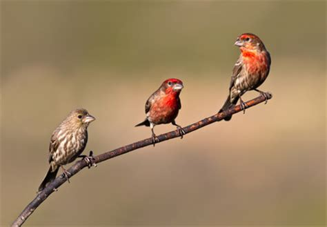 house finches at rancho santa fe san diego county april 2012