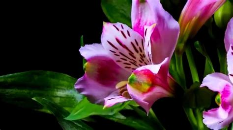 fiori bellissimi foto lo sbocciare dei fiori bellissimo