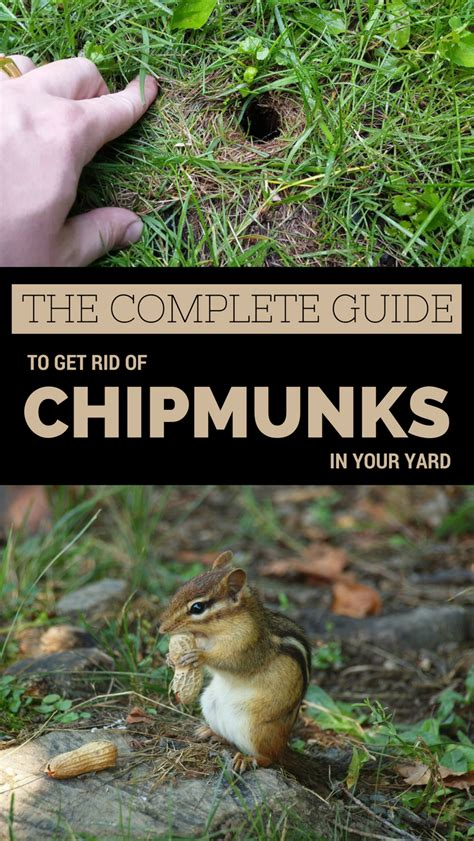 How To Keep Chipmunks Out Of Garden by The Complete Guide To Get Rid Of Chipmunks In Your Yard